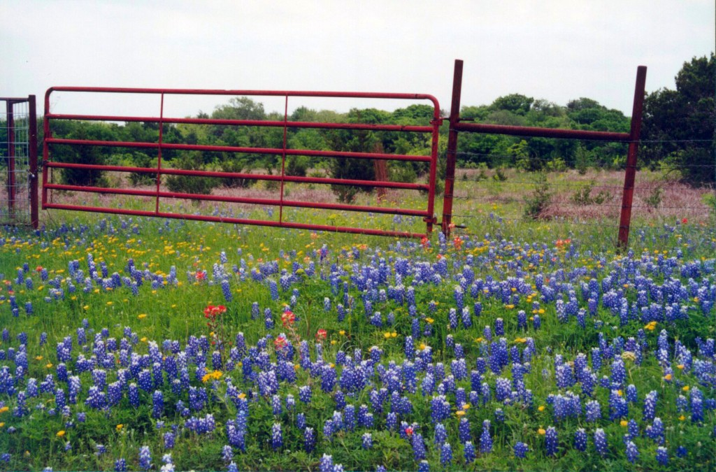 Country fence and bluebonnets. Copyright Robin Kenny.